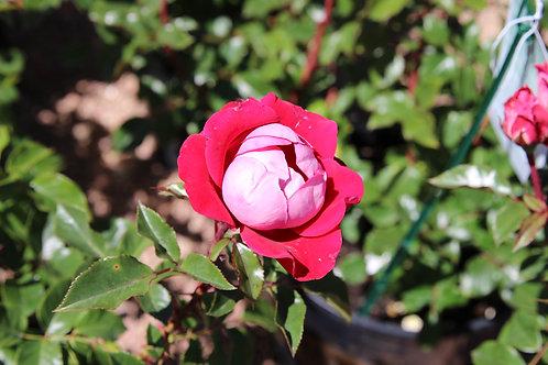 Pre-Order: Take It Easy Rose