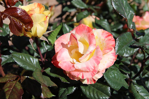 Pre-Order: Chihuly Rose