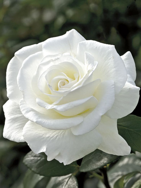 Pre-Order: Sugar Moon Rose