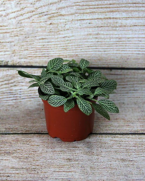 """4"""" Nerve Plant (Silver Small Leaf Fittonia)"""