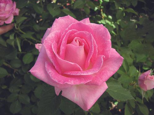 Pre-Order: Painted Porcelain Rose