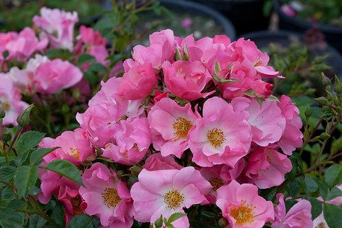 Pre-Order: Pink Snowflakes Rose