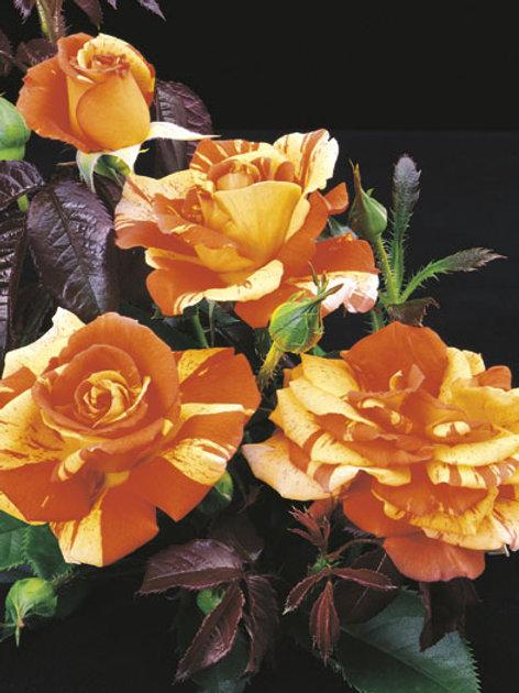 Pre-Order: Oranges 'N' Lemons Rose