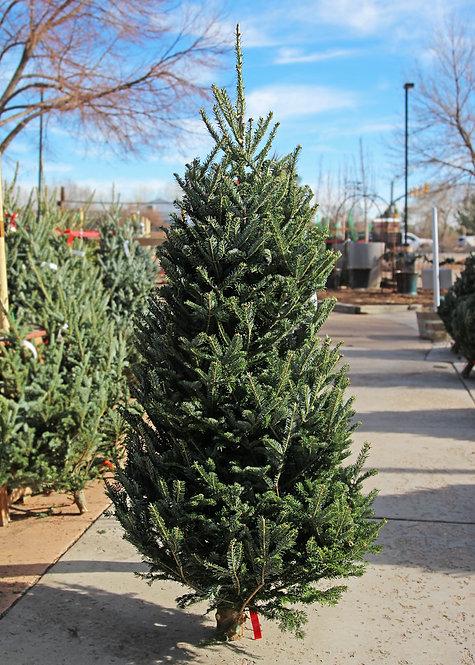 Cut Fraser Fir Tree