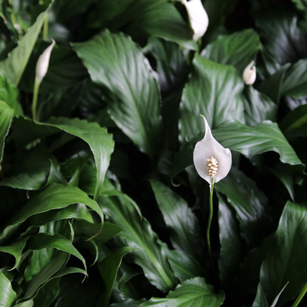 How To Care for a Peace Lilly