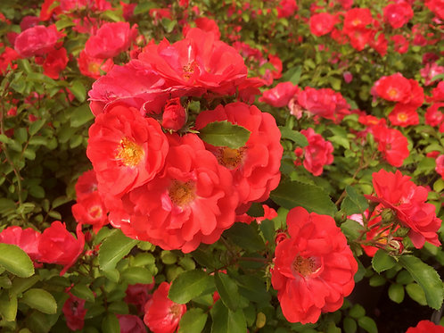 Pre-Order: Coral Drift Rose
