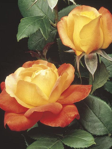 Pre-Order: Judy Garland Rose