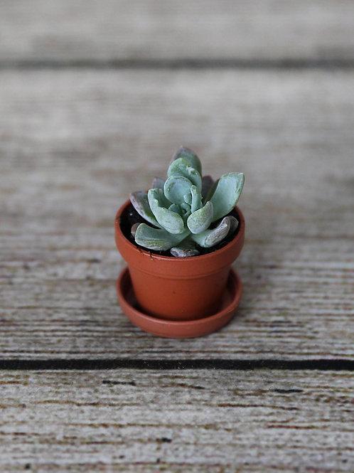 """1"""" Echeveria Succulent"""
