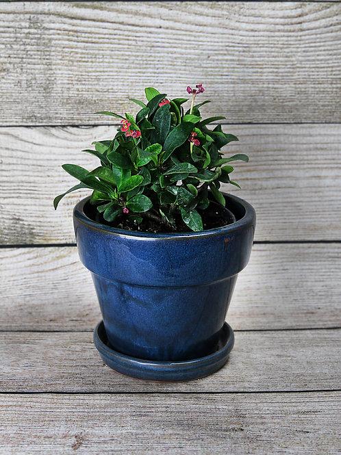 Crown of Thorns - Euphorbia Milii
