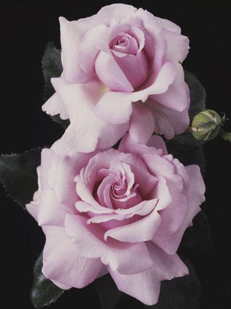 Pre-Order: Memorial Day Rose