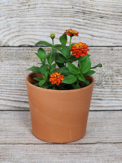 4-Pack Zinnia - Profusion Double Fire