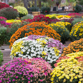 Guide to Fall Mums