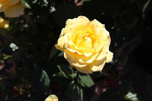 Pre-Order: Doris Day Rose
