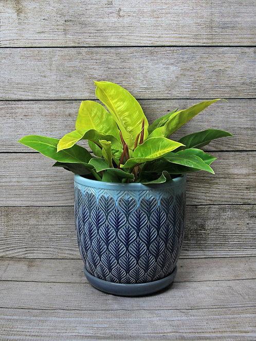 """12"""" Moonlight Philodendron"""