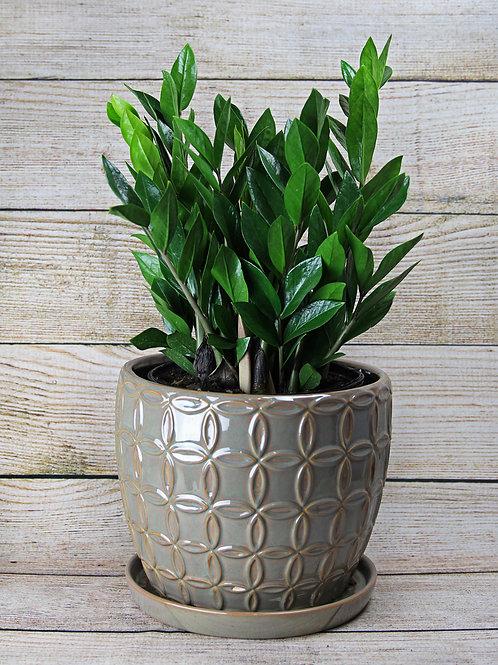 """Zamioculcas Zamiifolia- ZZ Plant 8"""""""