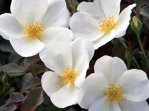 Pre-Order: White Knock Out Rose