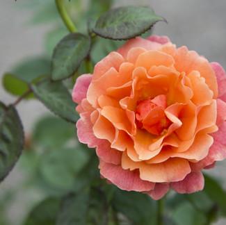 Roses at Bath Garden Center