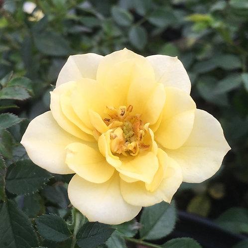 Pre-Order: Lemon Drift Rose