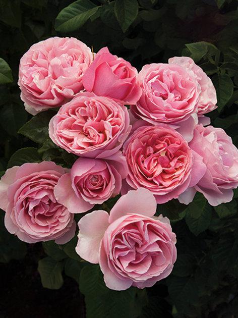 Pre-Order: All Dressed Up Rose
