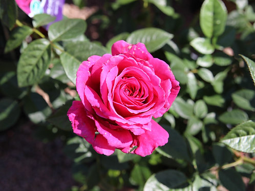Pre-Order: Pretty Lady Rose