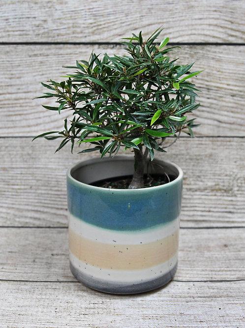 "6"" Ficus Nerifolia Bonsai"