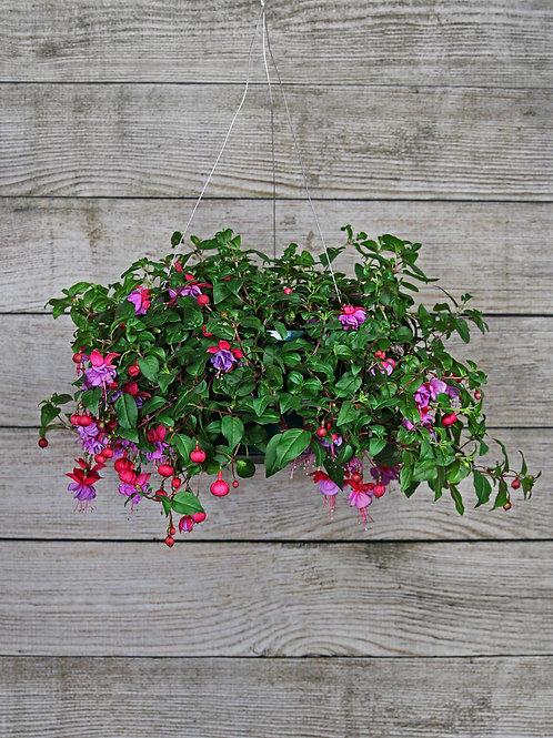 Annual Fuchsia Hanging Basket