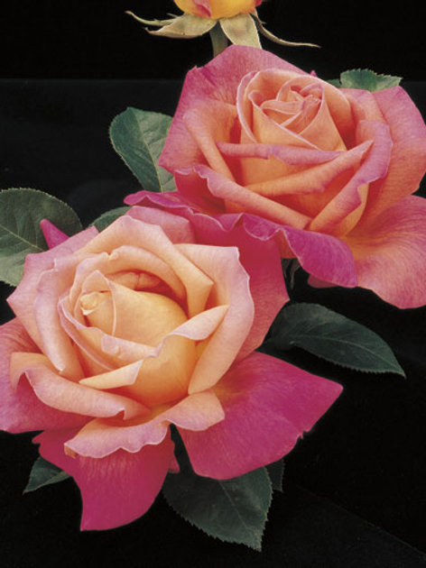 Pre-Order: Chicago Peace Rose