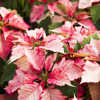 Poinsettias: Winter's Gems