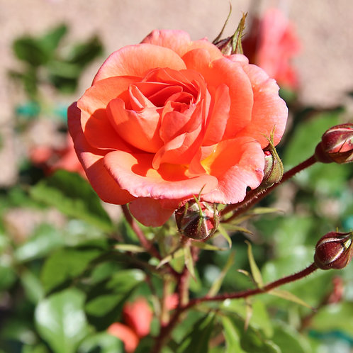 Pre-Order: Above All Rose