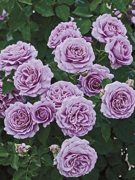 Pre-Order: Love Song Rose