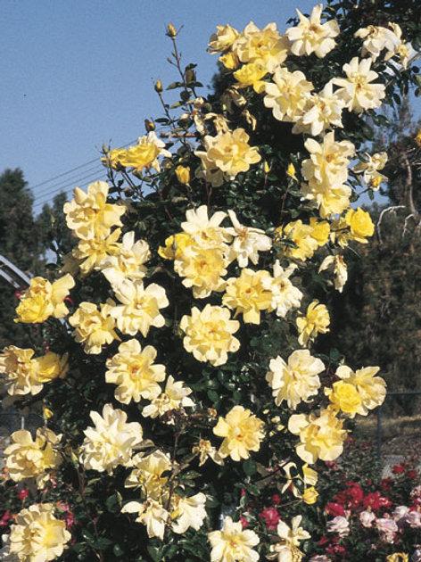Pre-Order: Golden Showers Rose