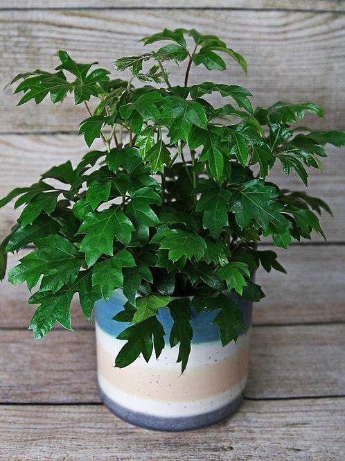 "6"" Cissus Oakleaf (Grape Ivy)"