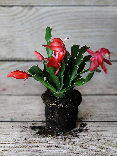 """4"""" Red Christmas Cactus"""
