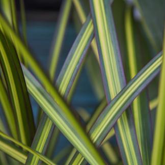 January Plant of the Month: Dracaena Kiwi