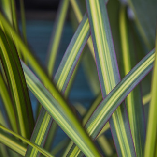 January Plant of the Month: Dracaena Kiwi