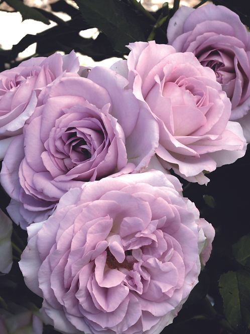 Pre-Order: Silver Lining Rose