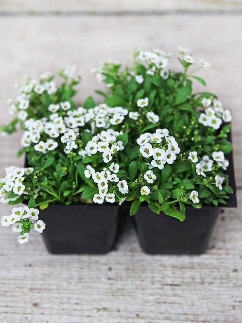 Alyssum - Clear Crystal White 4-Pack