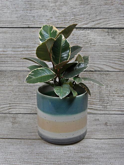 "6"" Varigated Rubber Plant"