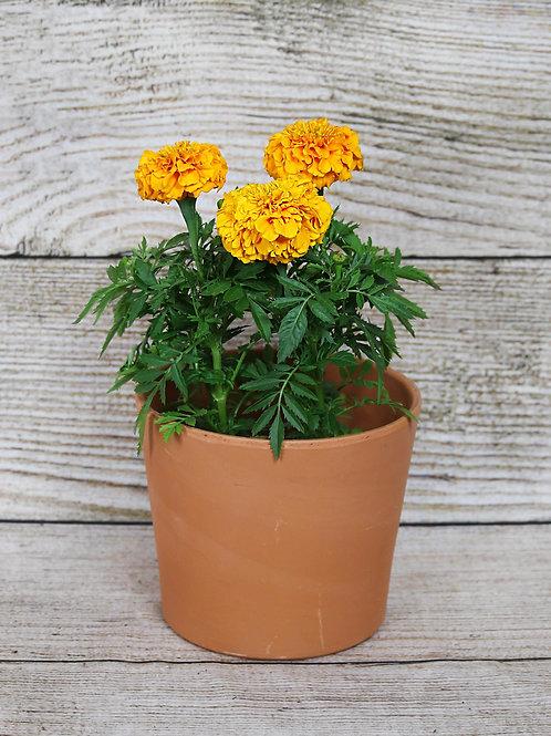 4-Pack Marigold - Inca II Orange