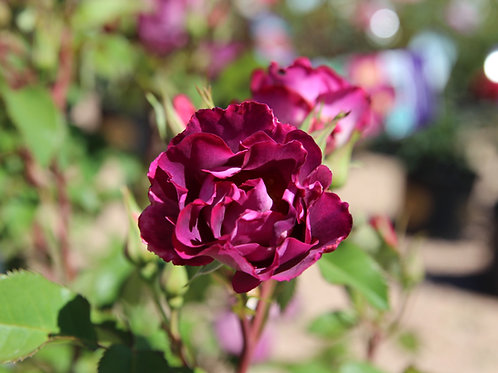 Pre-Order: Stormy Weather Rose