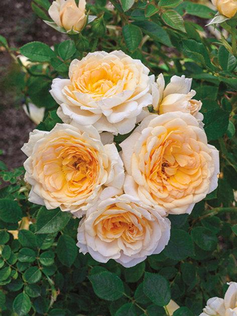 Pre-Order: Edith's Darling Rose