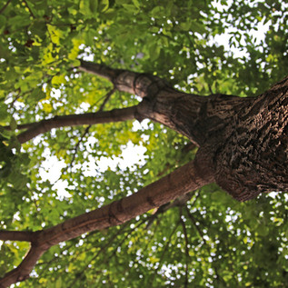 Protect Your Tree from Emerald Ash Bore