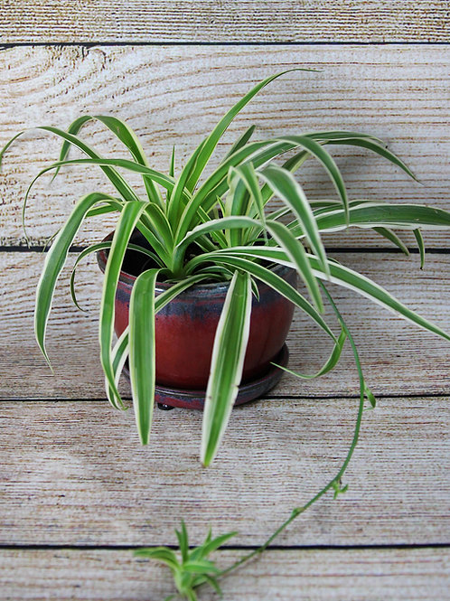 "4"" Spider Plant"