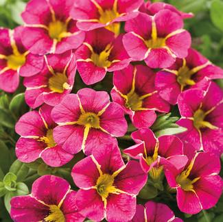 Cherry Star Calibrachoa, from Proven Winners