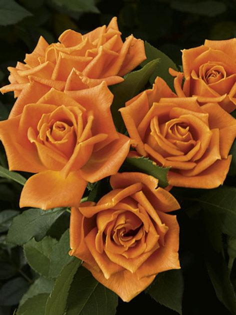 Pre-Order: Pumpkin Patch Rose