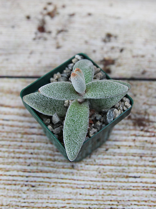 "3"" Kalanchoe Eriophylla"