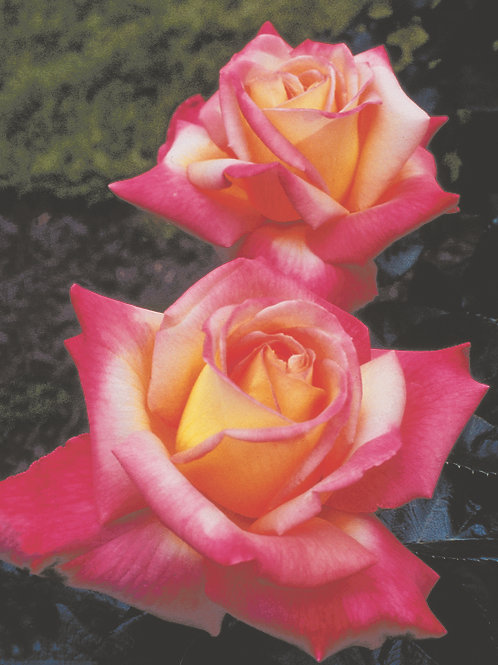 Pre-Order: Love And Peace Rose