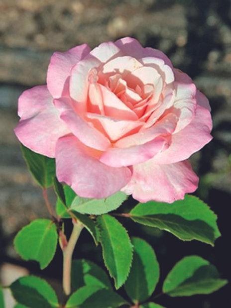 Pre-Order: Belinda's Blush Rose
