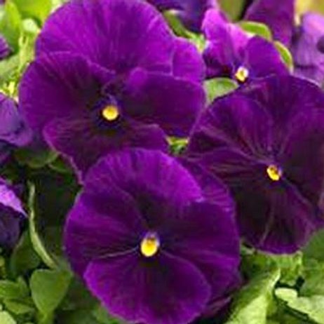 PANSY MAJESTIC GIANT CLEAR PURPLE 6""
