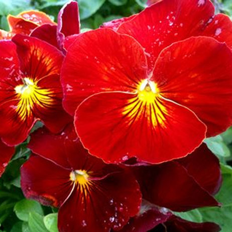 """PANSY DELTA™ PURE RED 6"""""""